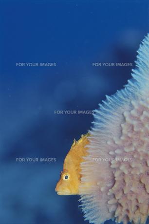 海中のオキゴンベのアップ FYI01014275