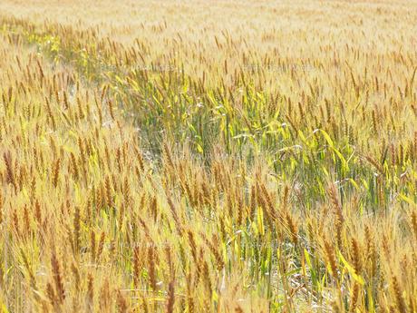 麦畑 FYI01015561