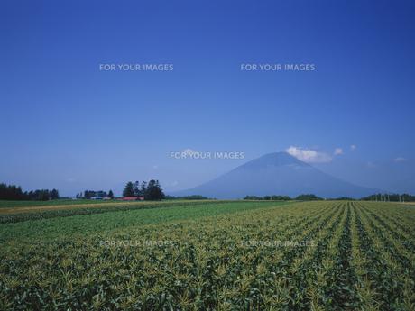 トウモロコシ畑と羊蹄山 FYI01015578