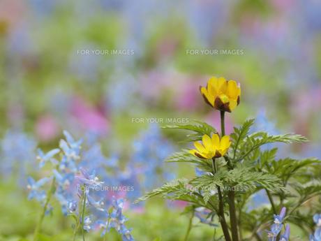 福寿草とエゾエンゴサク FYI01015609