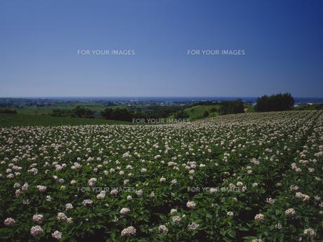 ジャガイモ畑と空 FYI01015635