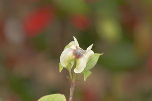 ハナミズキ花の咲き始め FYI01015658