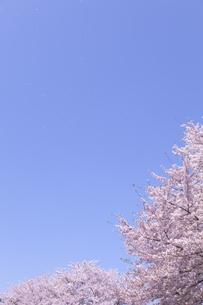 桜と青空に舞う花びら FYI01016674