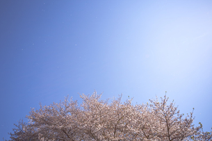 桜と青空に舞う花びら FYI01016696