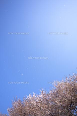 桜と青空に舞う花びら FYI01016723