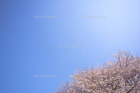 桜と青空に舞う花びら FYI01016797