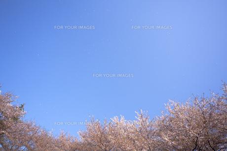 桜と青空に舞う花びら FYI01016840