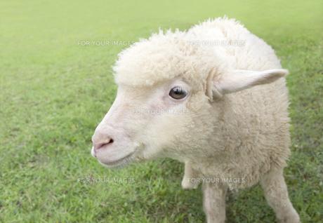 草原の中の子羊 FYI01017605