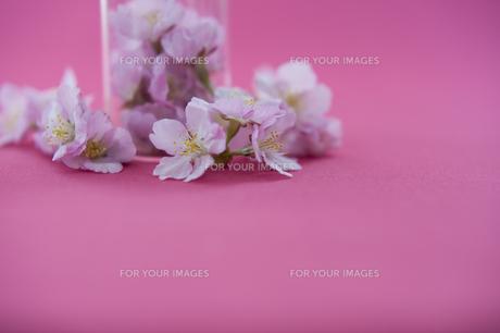桜 FYI01019276