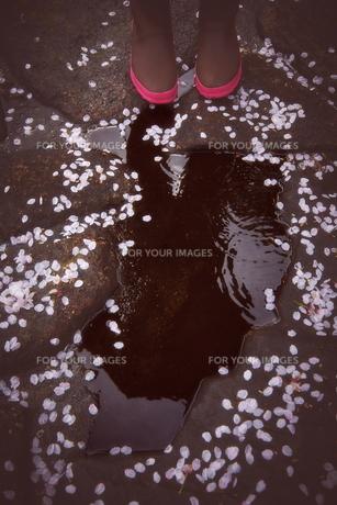 桜吹雪と水たまりと女性 FYI01033978