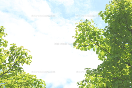 新緑のハナミズキ FYI01037770