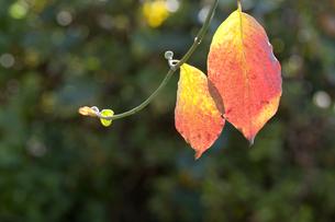 ハナミズキの葉の紅葉 FYI01037934