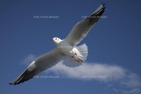 飛ぶカモメ FYI01038867