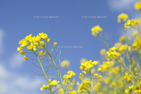 菜の花と青空 FYI01053250