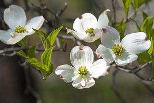 ハナミズキの花(白・4輪) FYI01055951