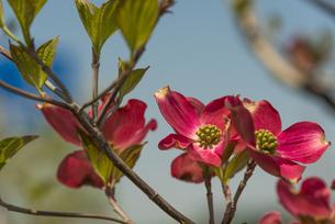 ハナミズキの花(赤・アップ) FYI01055952