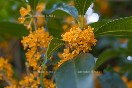 キンモクセイの花(ややアップ) FYI01057126