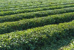 茶畑 FYI01057135