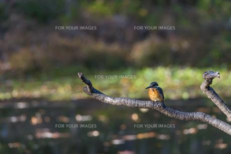 枝に留まるカワセミ(石神井公園) FYI01057138