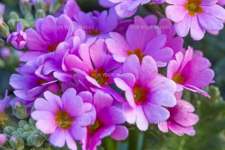 サクラソウの花 FYI01057145