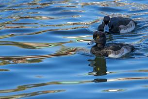 泳ぐキンクロハジロ FYI01057154