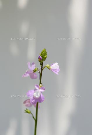 ミミカキグサ FYI01065628
