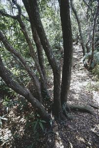 備長炭の原木 ウバメガシの森 FYI01073530