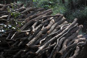 備長炭の原木 伐採されたウバメガシ FYI01073665