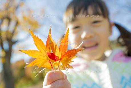 紅葉の公園でモミジの葉っぱを持って笑う女の子 FYI01075589