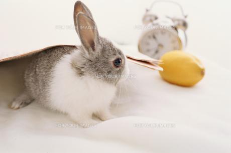 ミニウサギと目覚まし時計 FYI01117192