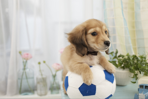 サッカーボールとダックスフンドの素材 [FYI01118752]