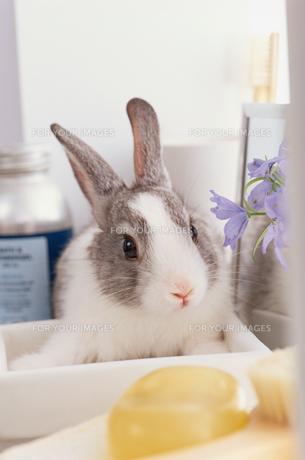 バスグッズに囲まれたミニウサギ FYI01119546