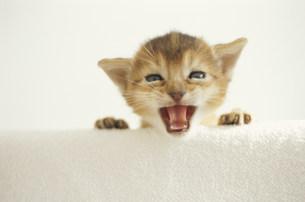 猫(アビシニアン) FYI01122561