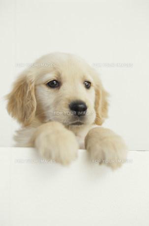 犬ゴールデンレトリバー Fyi01122691 気軽に使える写真