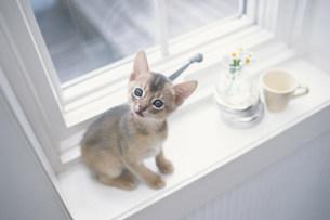 カップや花を置いた窓際に座る猫 FYI01123117