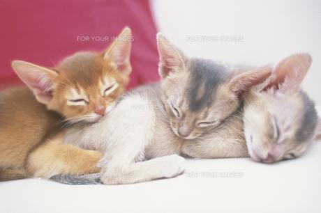 赤いクッションのそばで眠る3匹のネコ(アビシニアン) FYI01127400
