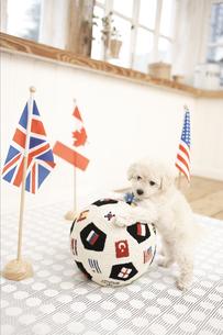 サッカーボールとプードル FYI01127773