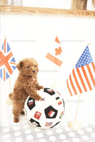 サッカーボールとトイプードル FYI01127840