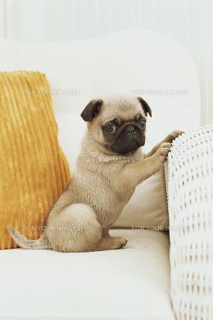 ソファの上のパグと黄色のクッション FYI01129374