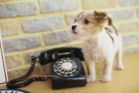 ジャックラッセルテリアと黒電話 FYI01129398