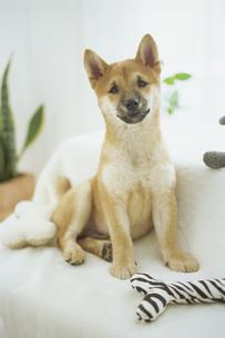 柴犬と小物 FYI01129494