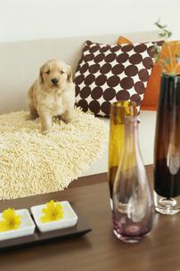 ゴールデンレトリバーと2つの黄色い花と3本のビン FYI01129499
