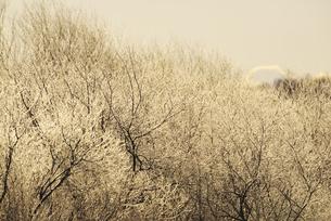 朝の雪裡川の樹氷 FYI01131516
