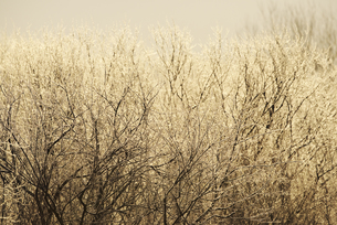 朝の雪裡川の樹氷 FYI01131521