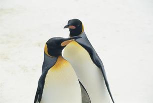 コウテイペンギン FYI01143893