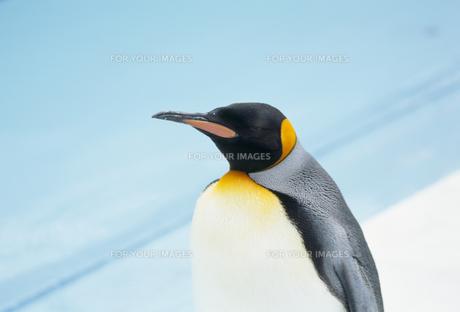 コウテイペンギン FYI01144016