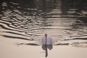 泳ぐ白鳥 FYI01144272