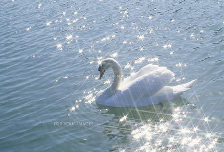 白鳥と水面のきらめき FYI01146296