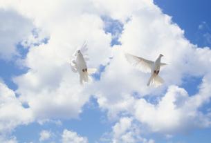 羽ばたくクジャクバト2羽と雲 FYI01146348