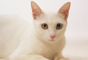 白猫 FYI01146405
